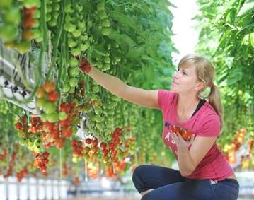 The Tomato Stall picker
